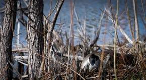 Nesting Goose Stock Photography
