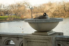 Nesting Goose. Female Goose nesting on a basin by the  park Royalty Free Stock Image