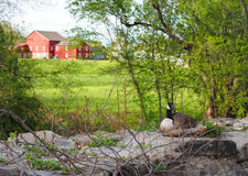 Nesting Goose on Pastoral Farmland. A pregnant North American goose sits on her nest in spring upon a rocky area near a farm awaiting the laying of her eggs Royalty Free Stock Image