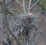 Nesting Great Blue Heron Royalty Free Stock Images