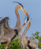 Nesting Great Blue Herons building a new home Royalty Free Stock Photography