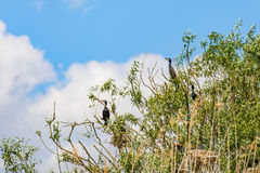 Nesting great cormorants on dried up tree Stock Image