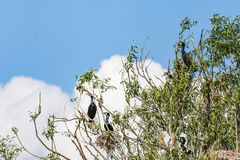 Nesting great cormorants on dried up tree Royalty Free Stock Photography