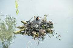 Nesting great crested grebe Royalty Free Stock Images
