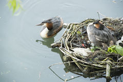 Nesting Great Crested Grebe Royalty Free Stock Photo