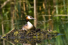 Nesting Grebe Royalty Free Stock Photography