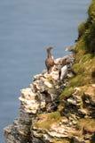 Clifftop seabird colony royalty free stock photos