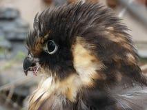 Nesting hawk Stock Images