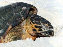 Nesting Hawksbill Turtle. Hawksbill Turtle (Eretmochelys imbricata) laying her eggs, Cousin Island, Seychelles Royalty Free Stock Images