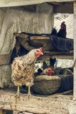 Nesting hens Royalty Free Stock Photography