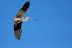 Nesting herons Royalty Free Stock Photo