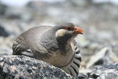 Nesting In The Himalayas Stock Photography