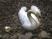 Nesting instinct  Mute Swan. Male Mute Swan inspecting a site for a possible nest Royalty Free Stock Image