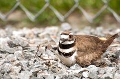 Nesting Kildeer (Charadrius vociferus) Royalty Free Stock Images
