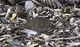 Nesting killdeer. Killdeer mother sitting on a nest hidden in bark mulch and pine cones stock images