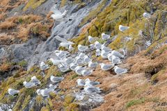 A group of nesting Nesting Kittiwakes Rissa tridactyla. Nesting Kittiwakes Rissa tridactyla on the sea cliffs on the Isle of May royalty free stock image