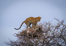 The Nesting Leopard Royalty Free Stock Photo