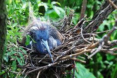 Nesting Little Blue Heron Royalty Free Stock Image