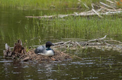 Nesting Loon Stock Photo
