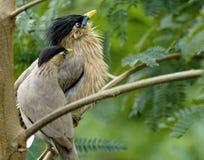 Nesting Loving Couple of Indian Myna Stock Photography
