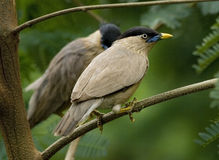 Nesting Loving Couple of Indian Myna Stock Photos