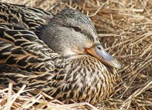 Nesting Mallard duck female laying in a nest of dried grasses Royalty Free Stock Images