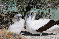 Nesting Masked Booby Bird With a Chick Royalty Free Stock Photos