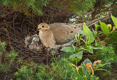 Nesting Mourning Dove. Bird with squabs Stock Image