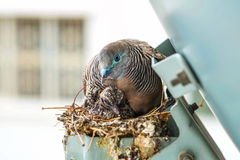 Nesting Mourning Dove bird with squab Stock Images