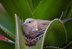 Nesting Mourning Dove Nested in Cactus. Nesting Mourning Dove hidden in aloe cactus Stock Photo
