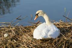 Nesting Mute Swan Stock Image