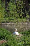 Nesting Mute Swan, Shrewsbury. Stock Photos