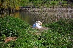 Nesting Mute Swan, Shrewsbury. Stock Images