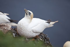 Nesting northern gannet Stock Image
