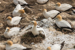Nesting northern gannets Stock Photo