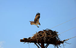 Nesting Osprey Royalty Free Stock Photo