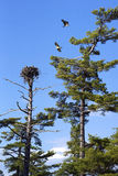Nesting Osprey Royalty Free Stock Photos