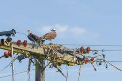 Nesting Osprey Stock Photos