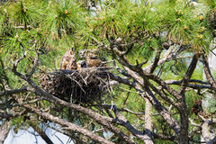 Nesting Owls. Family of owls nesting in a Florida pine tree Royalty Free Stock Photography