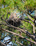 Nesting Owls Stock Photo