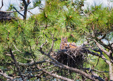 Nesting Owls Royalty Free Stock Images