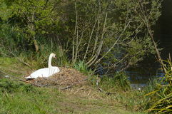 Nesting Pen swan beside the riverbank. Stock Image