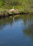 Nesting Pen swan beside the riverbank. Royalty Free Stock Photography