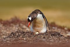 Nesting penguin on the meadow. Gentoo penguin in the nest wit two eggs, Falkland Islands. Animal behaviour, bird in the nest with. Eggs royalty free stock photos