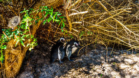 Nesting penguins at Boulders Beach, a popular nature reserve and home to a colony of African Penguins Royalty Free Stock Images