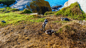 Nesting penguins at Boulders Beach, a popular nature reserve and home to a colony of African Penguins. In the village of Simons Town in the Cape Peninsula of stock photos