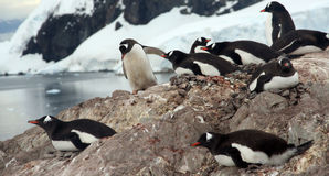 Nesting penguins, Gentoo penguin rookery Royalty Free Stock Photography