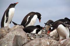 Nesting penguins, Gentoo penguin rookery Stock Photo