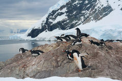 Nesting penguins, Gentoo penguin rookery Stock Photography