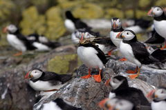Nesting Puffin. Starting a nest stock image